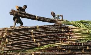Una de las pruebas se hizo a cultivadores de caña indios. / BABU BABU (REUTERS)