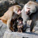 babuinos