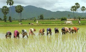 ¿La cultura del arroz promueve el pensamiento holístico?